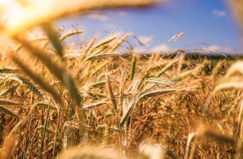 Wheat Grains Trading-1