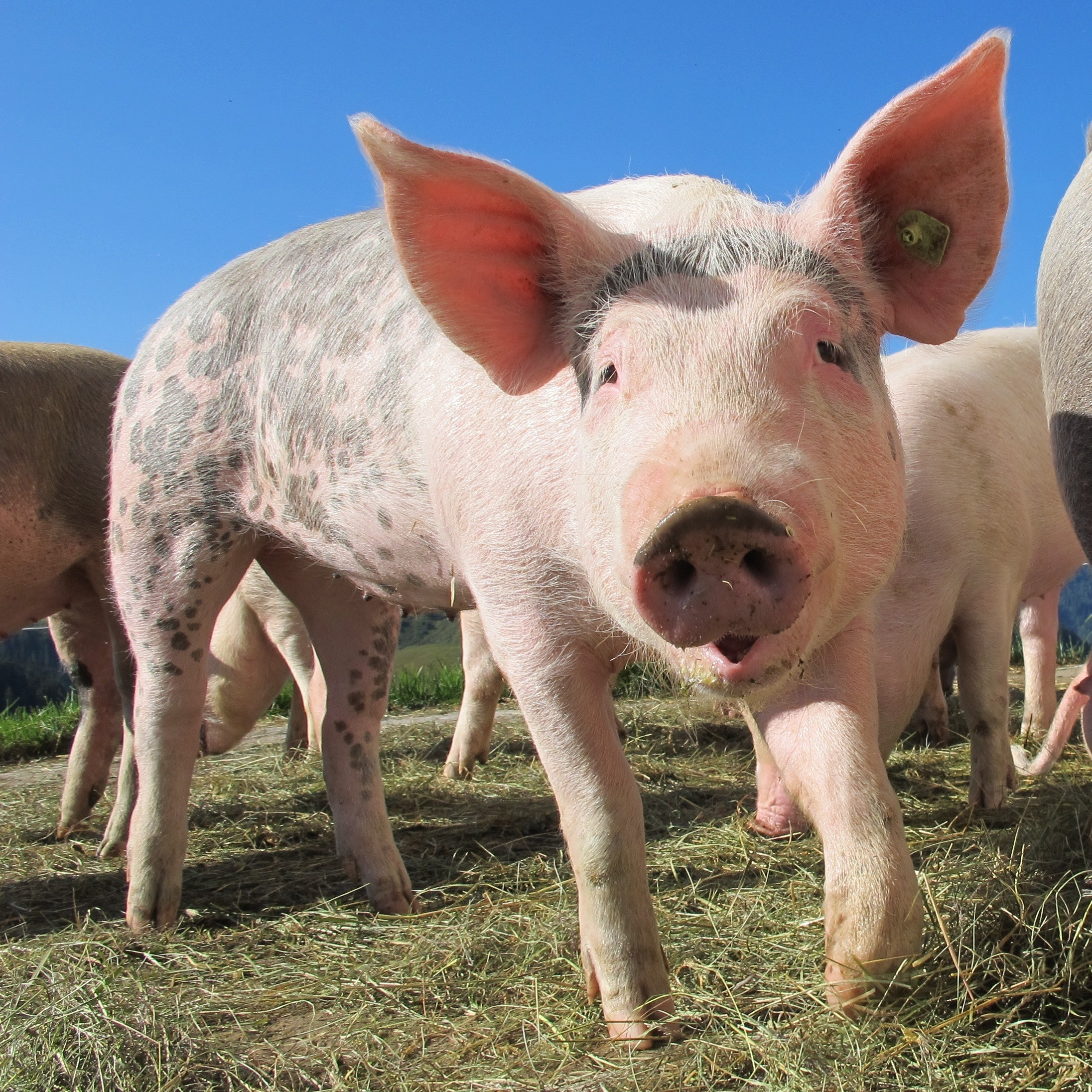 Meaty Rally in Lean Hogs as China Buys More Pork